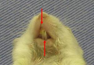 図1: BALB/c-bm/bm切歯における水平的交叉咬合