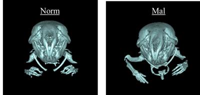 図2:BALB/c-bm/bm正常咬合(左)と不正咬合(右)の頭蓋顎顔面部3DCT画像
